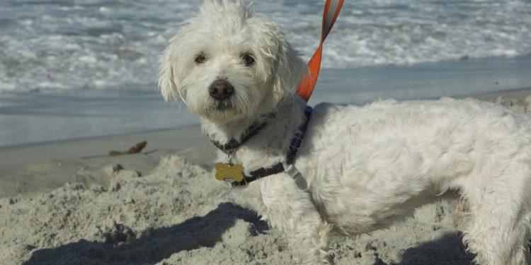 Dog_Carmel_beach