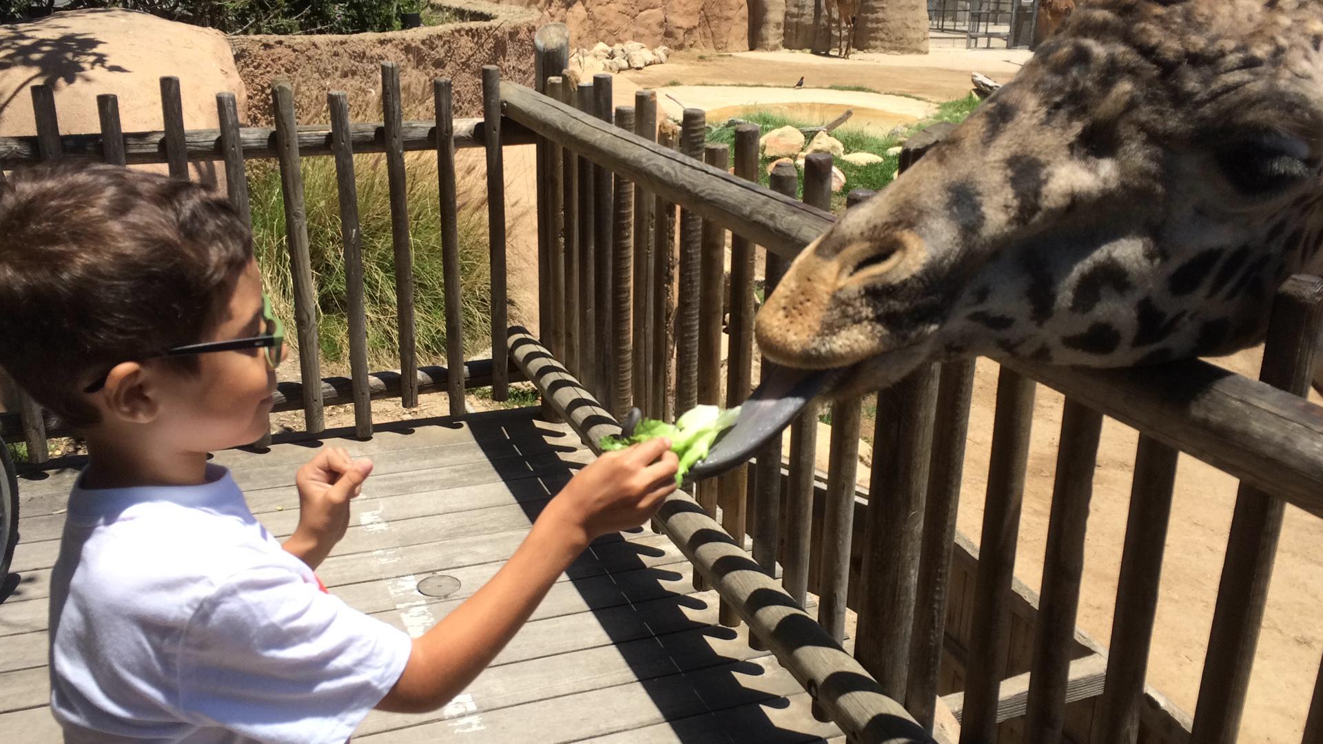 feeding the giraffe at the Santa Barbara Zoo