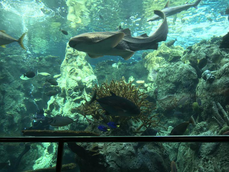 Sharks at the Aquarium of the Pacific in Long Beach. #aquarium #longbeach #familytravel #losangeles