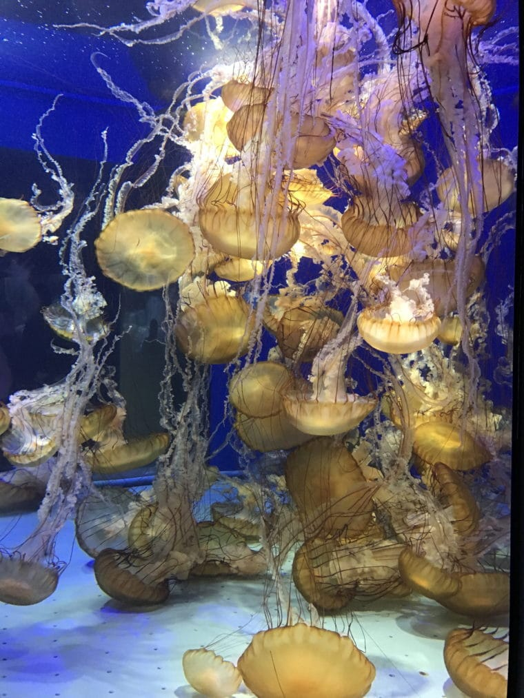 yellow jellyfish in a tank at the Aquarium of the Pacific