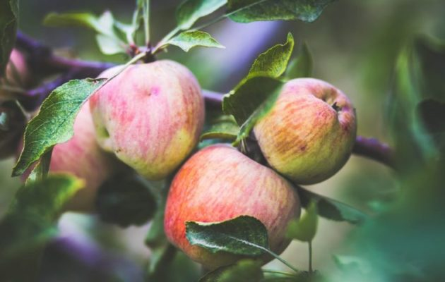 Riley's Farm is one of the fun places to go apple picking in California. (photo courtesy of Riley's Farm