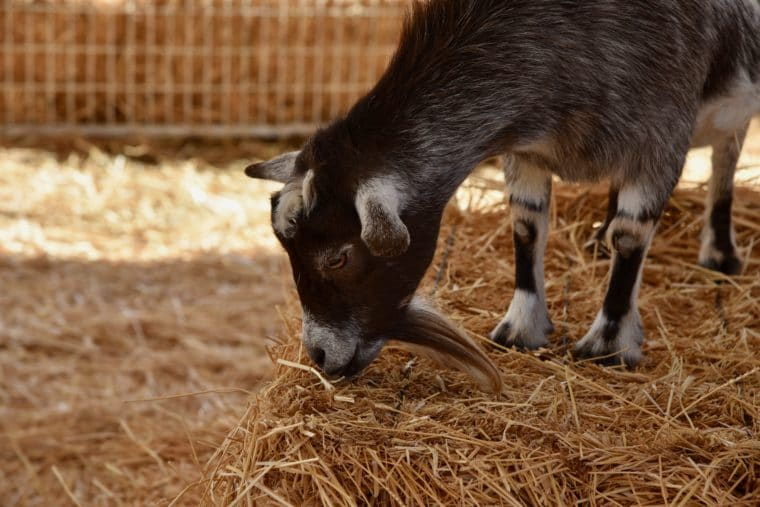 A baby goat at Mr. Bones Pumpkin Patch petting zoo. #mrbones #pettingzoo #babygoat #goat #losangeles #culvercity