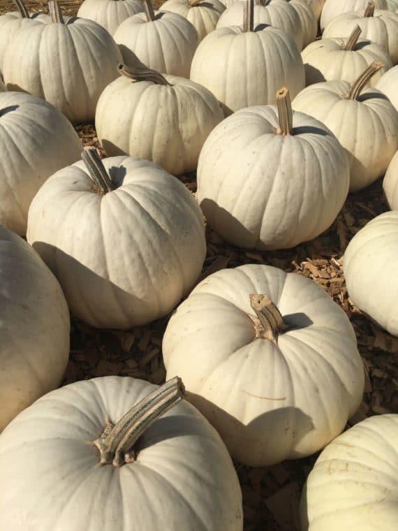 white pumpkins at Mr. Bones pumpkin patch