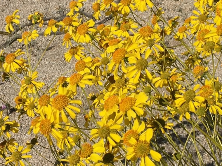 wildflowers in the socal desert