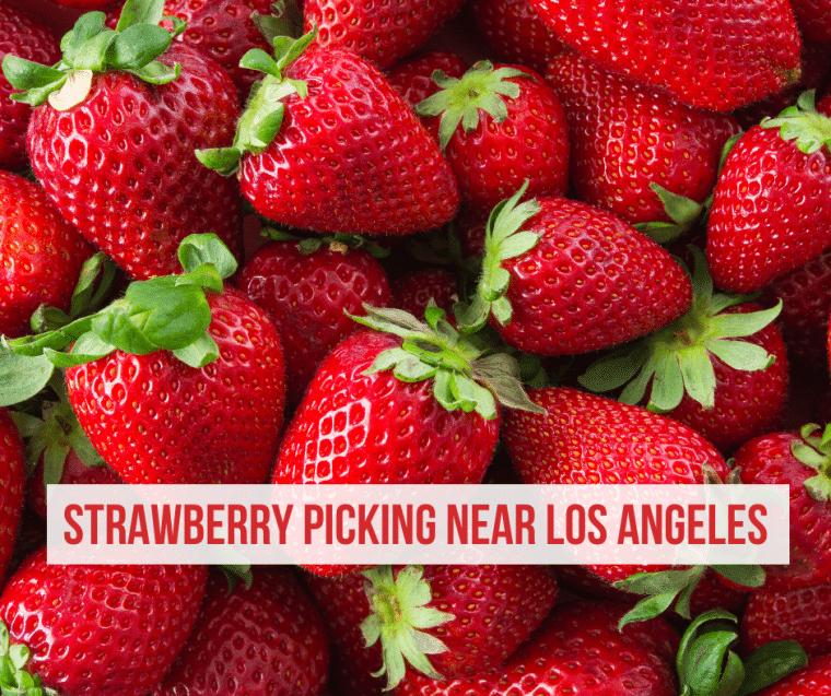 strawberry picking los angeles
