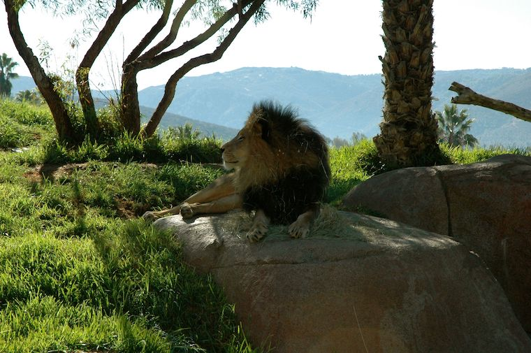 male lion at San Diego Zoo Safari Park