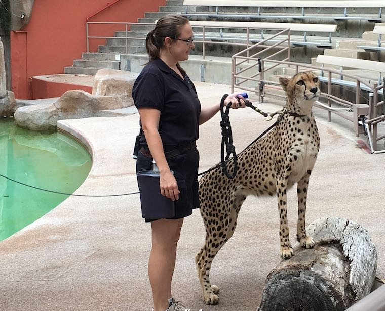 a Cheetah and her handler at the San Diego Zoo