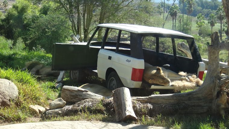 lions sleeping in a decommissioned Range Rover at the San Diego Zoo Safari Park