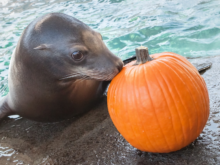 Photo credit robin riggs pinniped and a pumpkin