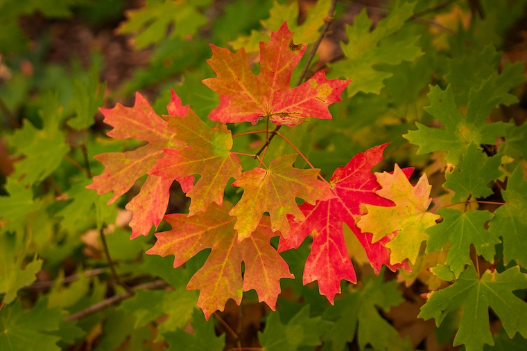 maple leaves fall colors