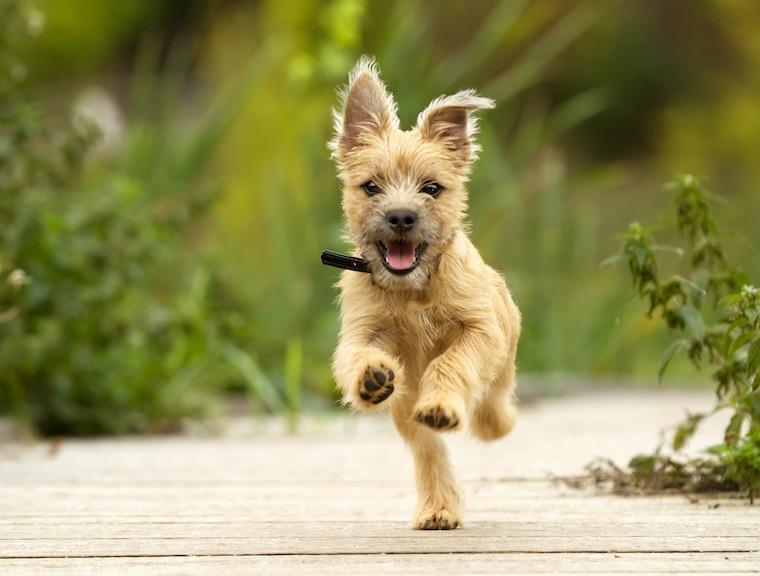 High-energy Puppy running towards camera