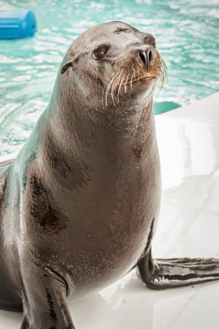 one of the Pinnipeds, also known as a Sea Lion, photo courtesy of the Aquarium of the Pacific
