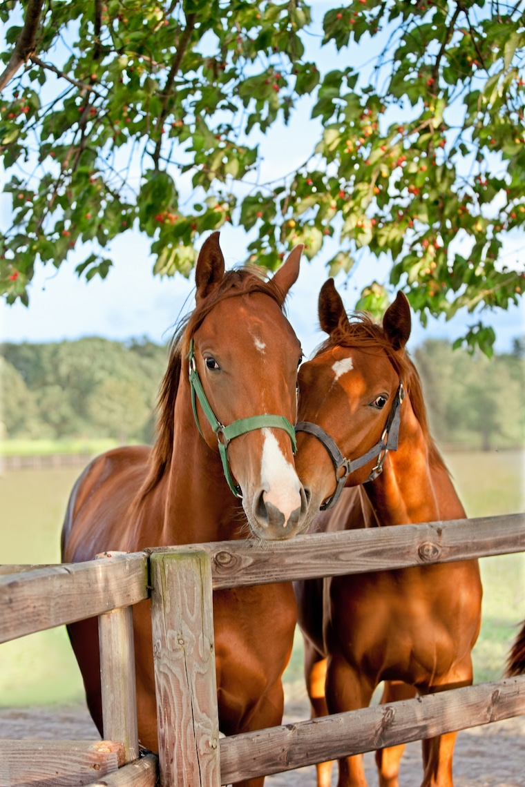 two horses nuzzling at the fence