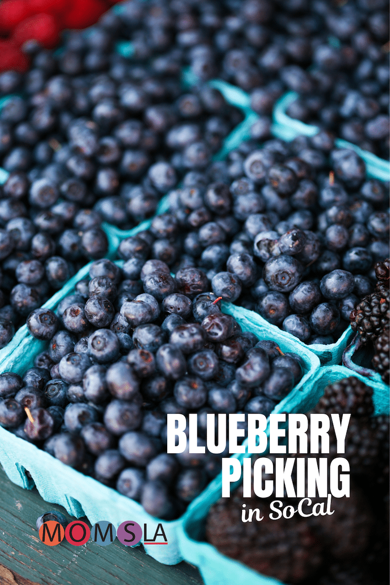 blueberries in cartons text blueberry picking in socal