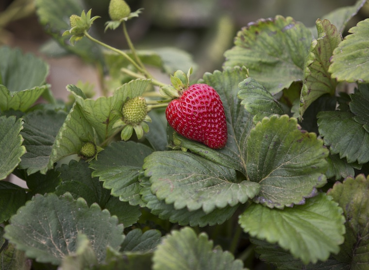 strawberry plant with ripe strawberry