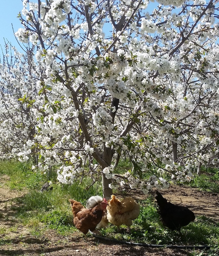 Cherry Tree in Bloom, with chickens, photo courtesy of Full Moon Cherries