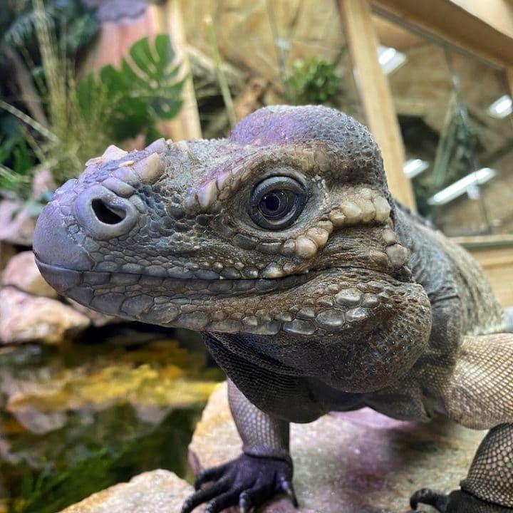 Beckham-the-Rhino-Iguana-at-the-Reptile-Zoo