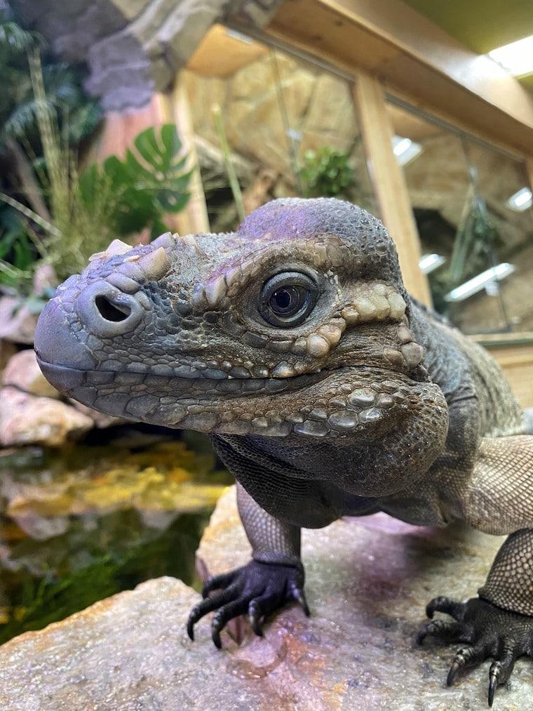 Beckham the Rhino Iguana at the Reptile Zoo