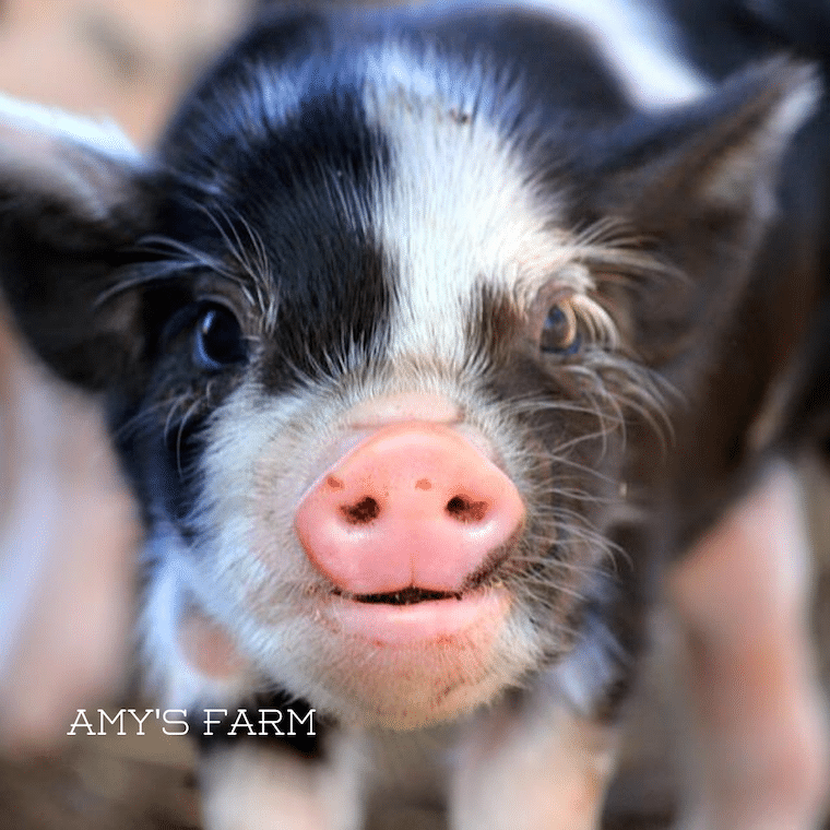 Adorable Baby Pig, photo courtesy of Amy's Farm