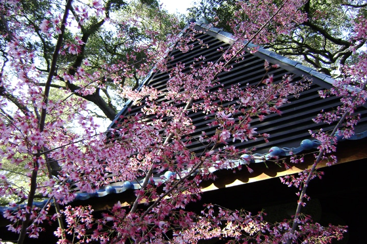 Cherry Blossoms in bloom at Descanso Gardens
