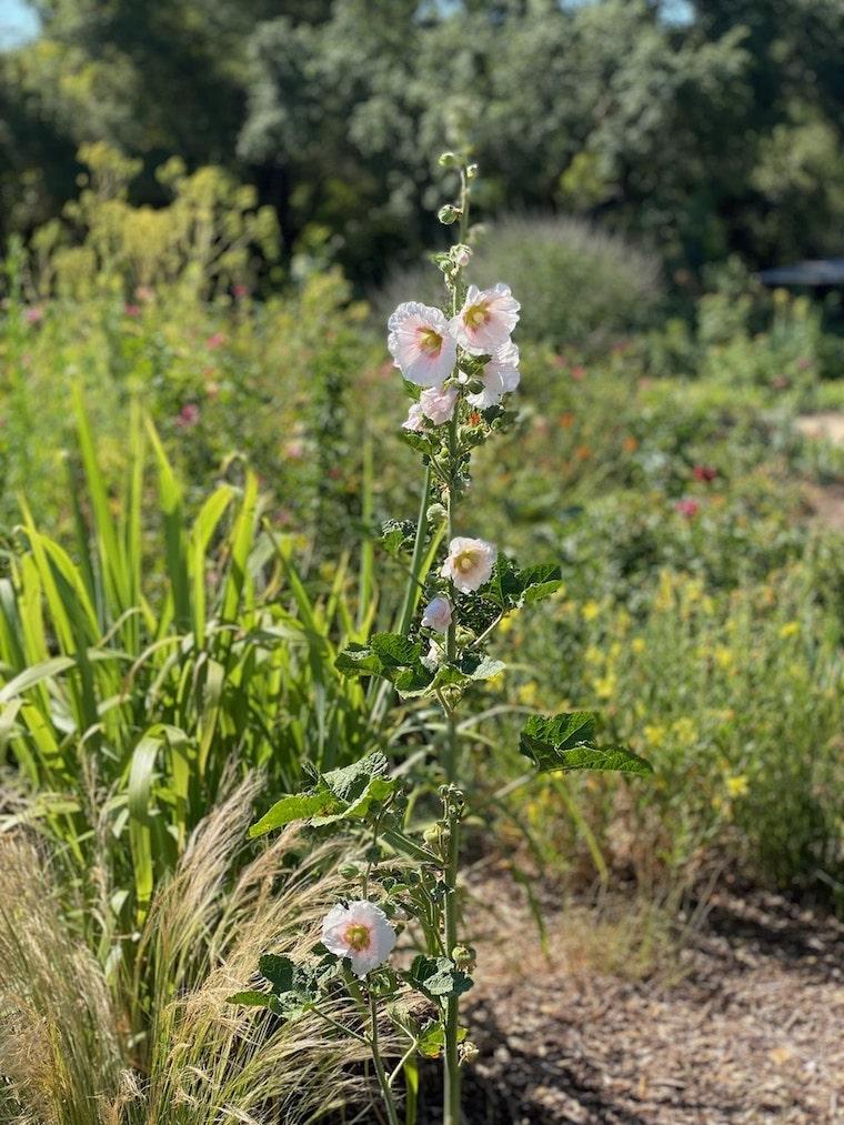 Descanso Gardens in bloom