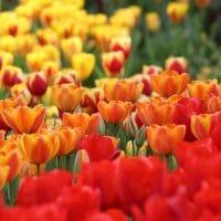 Descanso-gardens-Tulips