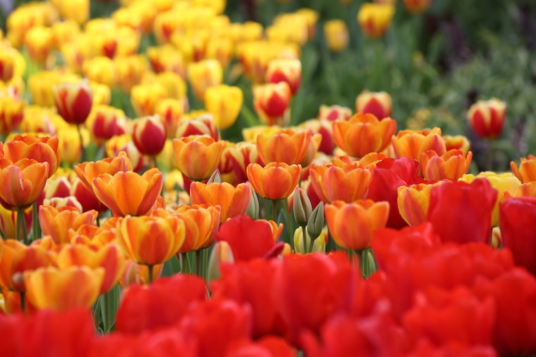 Tulips in bloom at Descanso Gardens