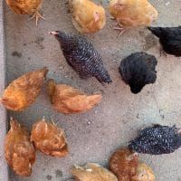 chickens-at-Underwood-Family-Farms